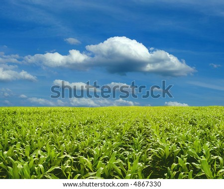 Corn field under blue sky - stock photo