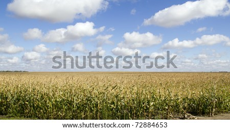 Corn Field under Blue Sky - stock photo