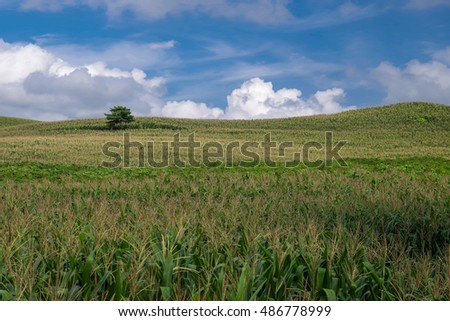 Corn field under blue sky and cloud.