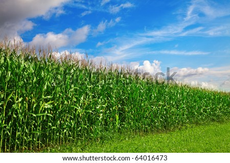 Corn field under blue sky with some clouds - stock photo