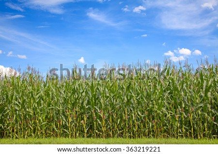 Corn field under blue sky with some fluffy clouds