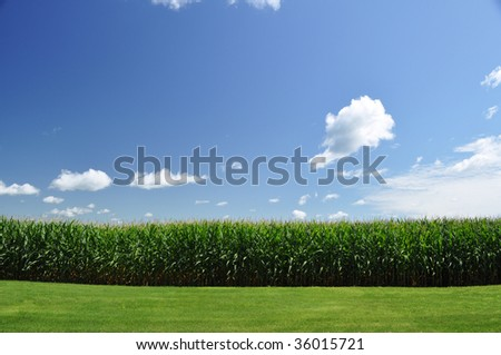 corn field under summer sky - stock photo