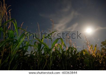 corn field under the moonlight - stock photo