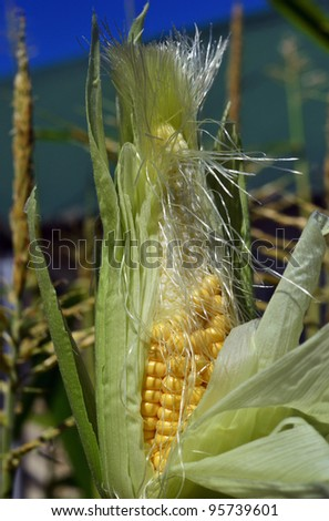 Corn field with blue sky with corn on display for field testing. - stock photo