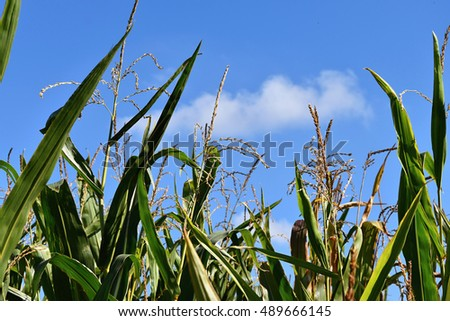 Corn field with ears of corn. Background sky.