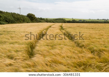 Corn fields in the wind near love in cornwall england uk. Kernow  - stock photo