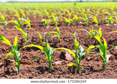 Corn fields sprouts in rows in California agriculture plantation USA - stock photo
