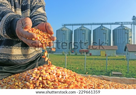 Corn grains in a hand after good harvest of successful farmer, in a background agricultural silo