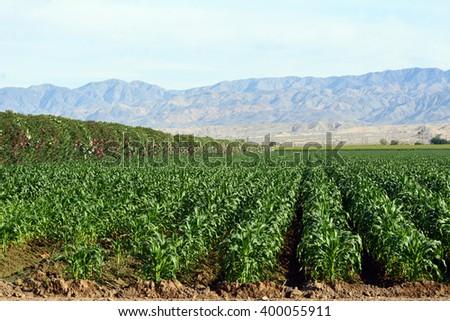 Corn growing in a field near Coachella, California with Oleander as a wind break. - stock photo