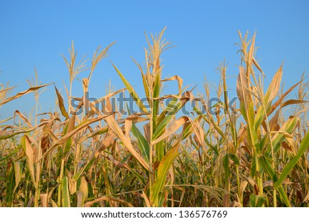 Corn grown in the field in Thailand