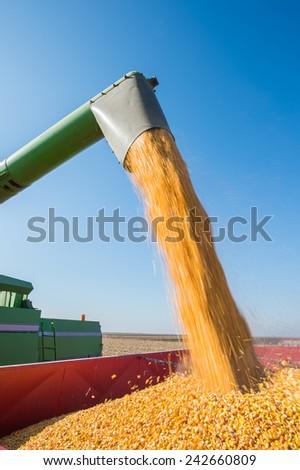 Corn harvest in autumn - stock photo