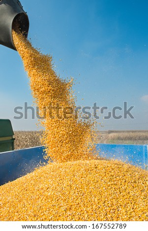 corn harvest on a farmland - stock photo