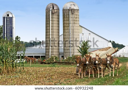 Corn harvest on an Amish Farm in Lancaster County,Pennsylvania - stock photo