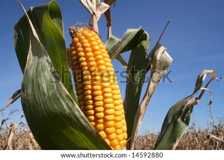 Corn Harvest or Bio Fuel - stock photo