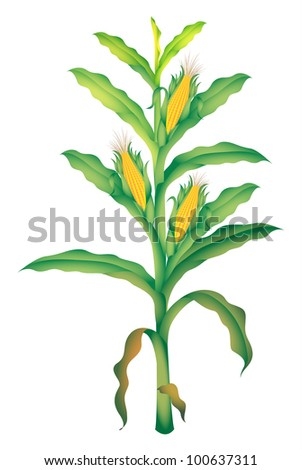 corn illustration on white background - EPS VECTOR format also available in my portfolio. - stock photo