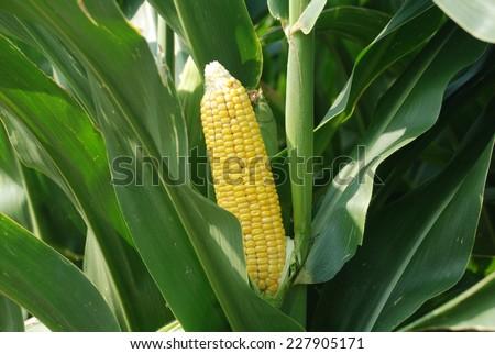 Corn in a field - stock photo