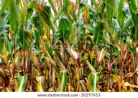 Corn in summer time, Ontario, Canada region