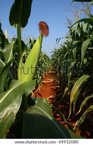 Corn in the farm. - stock photo