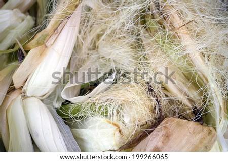 Corn, Indian corn,Maize, Zea mays Linn., - stock photo