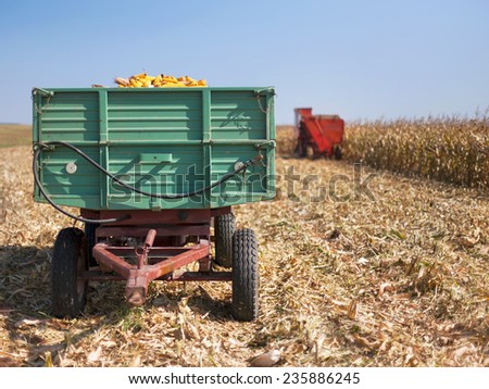 Corn maize cobs during harvesting season loaded into a trailer and combine harvester in background. - stock photo