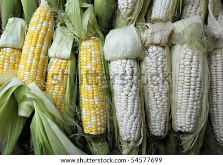 corn maize  Indian corn ear of maize - stock photo