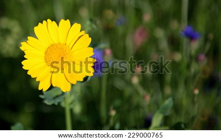 corn marigold - stock photo