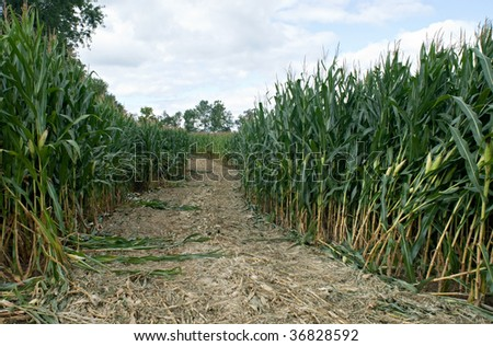 Corn Maze Path - stock photo