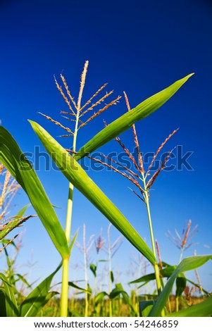 corn on a background of the sky - stock photo