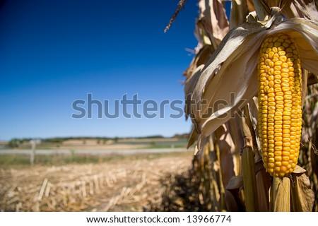 Corn on cob with copy space, focus on corn cob - stock photo