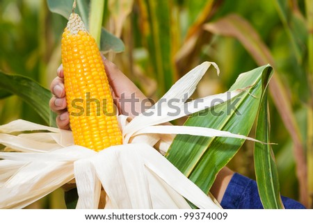 Corn on the stalk in the field with farmer's hand - stock photo