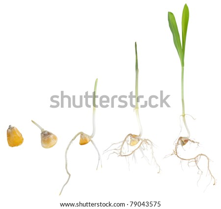 Corn plant growing from seed to seedling isolated on white - stock photo