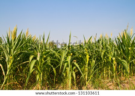Corn plant in the farm