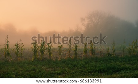 Corn plant on the edge of the field on a foggy autumn morning