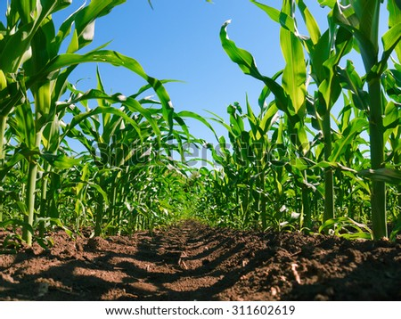 Corn plantation rows. Worm's view  - stock photo