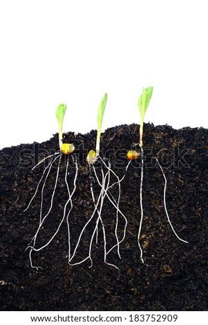 Corn Planting - stock photo