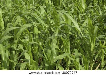 Corn plants - stock photo