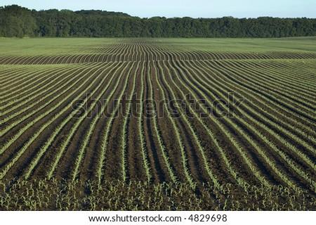 Corn plants growing in Iowa. - stock photo