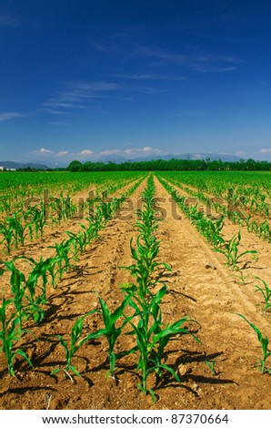 Corn plants growing in row disposition agriculture concept