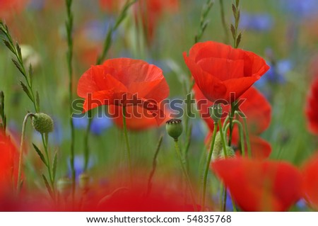 Corn poppies in a field - stock photo