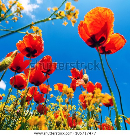 Corn poppy flowers field (Papaver rhoeas) against the blue sky in spring morning - stock photo