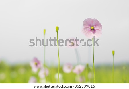 Corn poppy flowers papaver rhoeas in spring / ( Papaveraceae poppies family ) /  beautiful background wildflower flowering in springtime on field  - stock photo