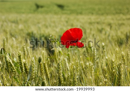 corn poppy in the middle of a field