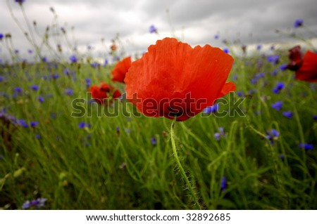corn poppy meadow - stock photo
