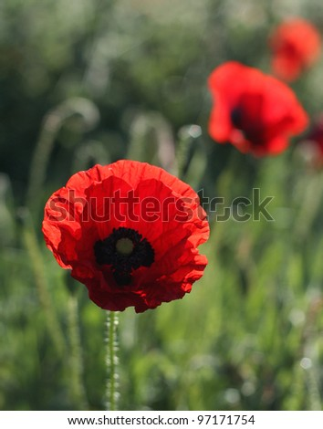 corn poppy Papaver rhoeas - stock photo