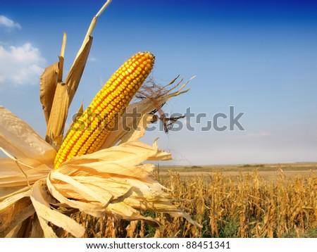 corn ready for harvest - stock photo