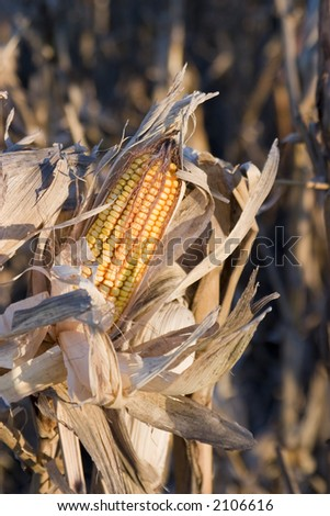 Corn ready for harvest midwest gold - stock photo