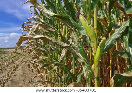 Corn Ready for Harvest: Rows of corn await harvest under September skies in Southern Wisconsin. - stock photo