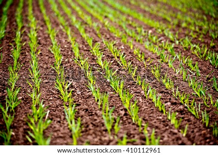Corn Rows at Spring Agriculture full frame field - stock photo