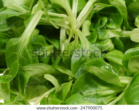 Corn salad (Valerianella locusta) a edible leaf vegetable  - stock photo