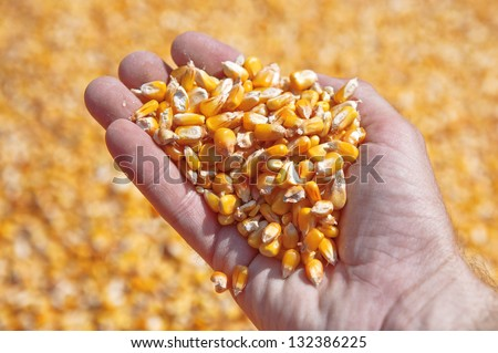 Corn seed in hand of farmer. Agriculture image